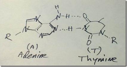 Adenine-ThymineH_bond